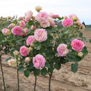 Amazing Day Standard Rose
