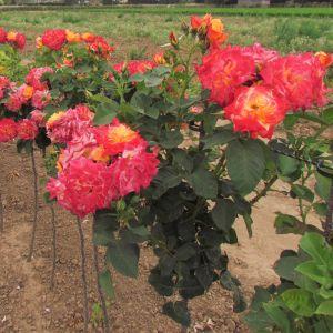 Birthday Surprise Standard Rose