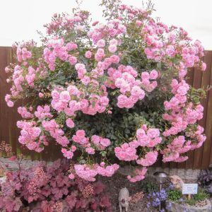 Bonica Standard Rose