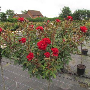Crimson Sweet Dream Standard Rose