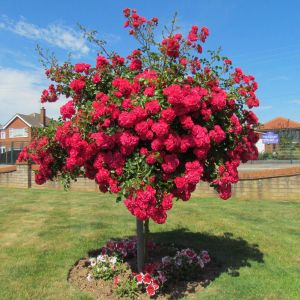 Lancashire Standard Rose