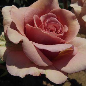 Mocha Rosa