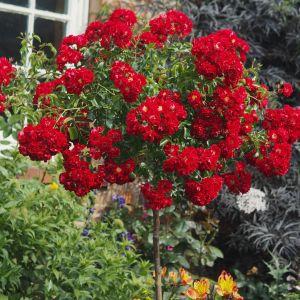 Rambling Rosie Weeping Standard Rose