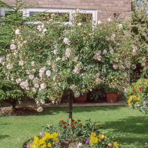Swany Weeping Standard Rose