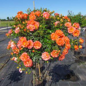 Tango Showground Standard Rose
