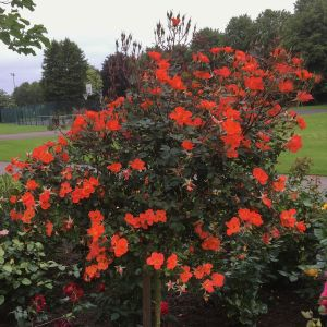 Warm Welcome Weeping Standard Rose