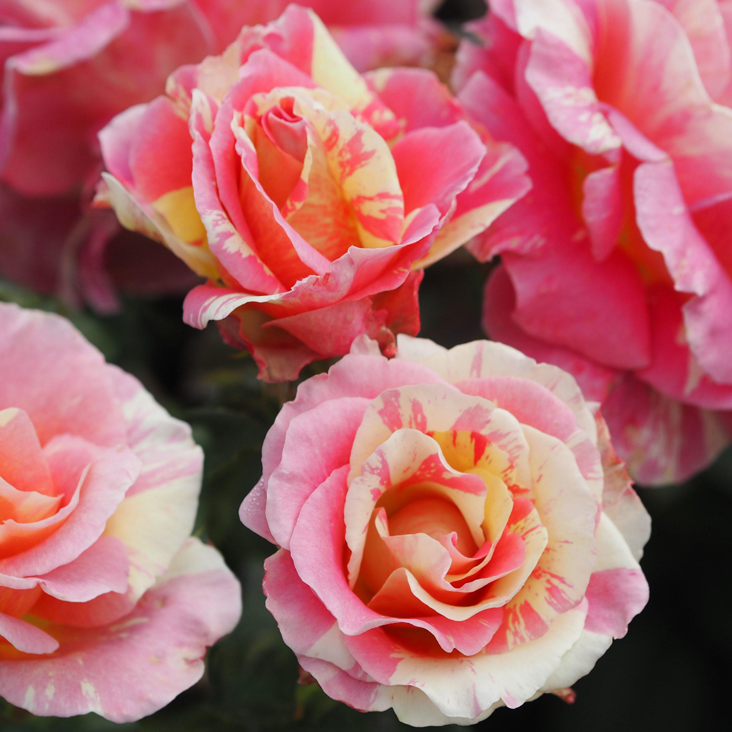 Healthy Garden Roses