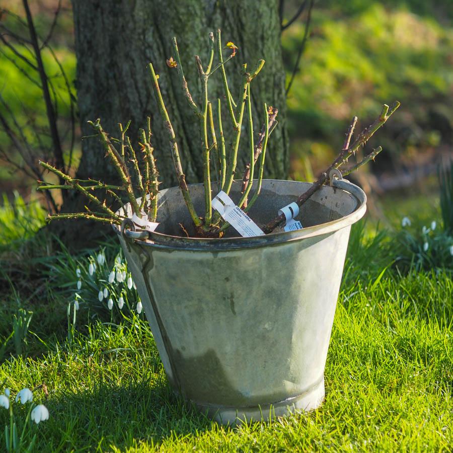 Soak Bareroot Plants Overnight