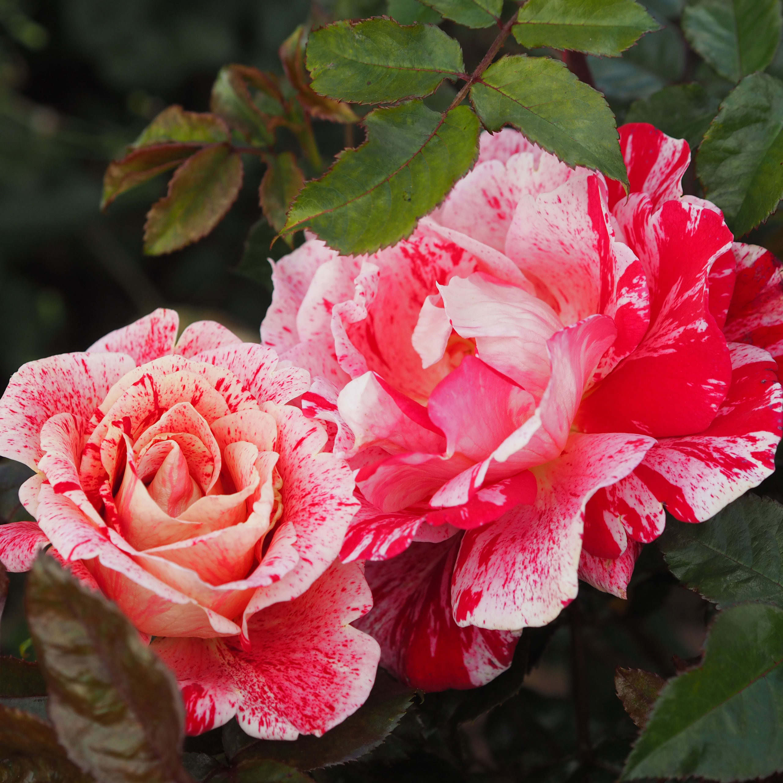 Planting Roses into Your Garden